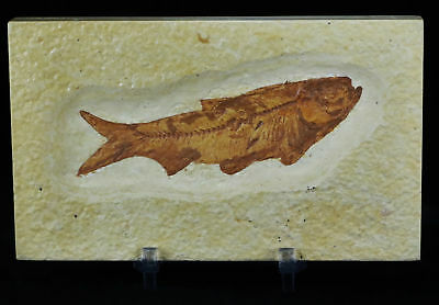 Knightia Eocaena Fossil Fish Green River Wy Eocene 3.4 In Free Stand, Shipping