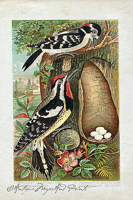 1883 Antique Print  Woodpeckers Nest and Eggs Poster Print 9x6 Repro