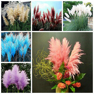 400 Pampas Garss Seeds Cortaderia Selloana Ornamental Plant Flowers S051
