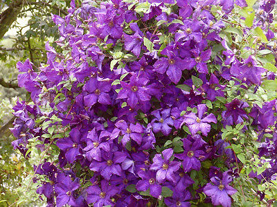 Clematis viticella Polish Spirit in 9cm pot