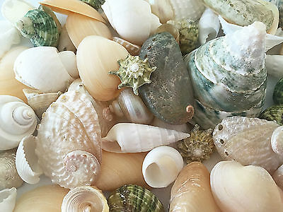 Shells mix WHITE, PEARL & GREEN (Perfect for craft, wedding & home decoration)