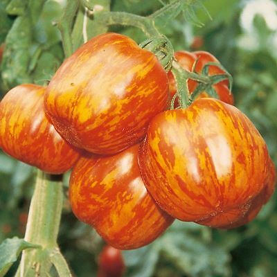 20 Tomato Seeds STRIPED STUFFER Heirloom Vegetable Organic
