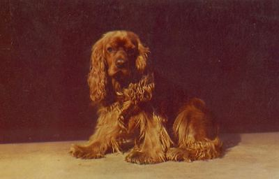 Postcard PC Sussex Spaniel Dog Waiting Kodachrome Mike Roberts Production c1950