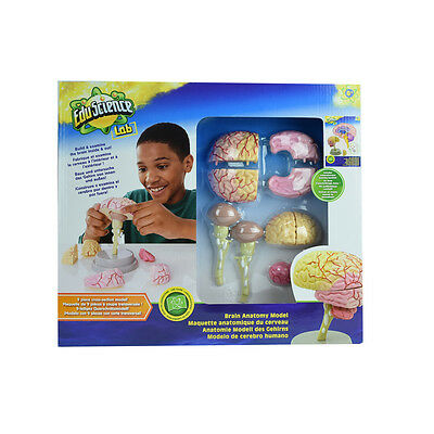 Edu Science Brain Anatomy Model - NEW