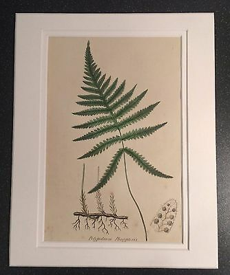 1855 Sowerby Antique Hand Coloured Fern Lithograph Print Double Mounted 24