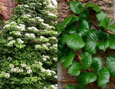 1X 2-3Ft Large Climbing Hydrangea Plant -  High Quality Nice Size Plants - 3L