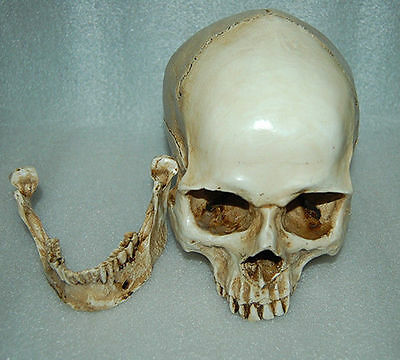 1:1 Real Life Human Anatomy Skull Skeleton Education Resin Replica Medical Party