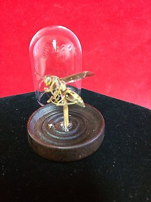 *Preserved  Wasp in Glass Dome Display Paper Wasp-entomology-insect-bug-bee