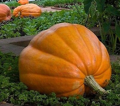 10 Pumpkin Seeds DILL'S ATLANTIC GIANT Heirloom Vegetable-World Biggest