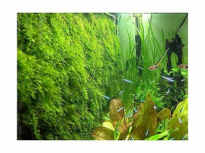 Moss wall Mesh - Decorate Bare Tank Live Aquarium Aquatic Plant for Fish ... New