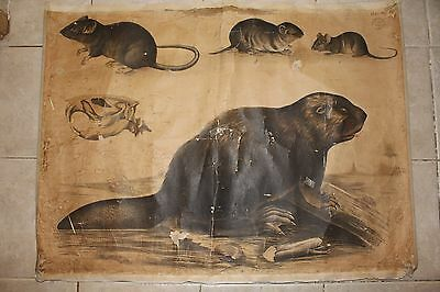 Original vintage zoological pull down school chart of Beaver, mouse, rat , lito