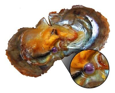 1 x Akoya Oyster With PURPLE Pearl Inside **UK STOCK**