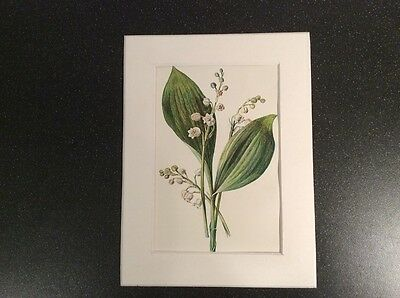 """ANTIQUE MOUNTED FLOWER BOTANICAL PRINT c 1890 F.E.HULME 8X6""""  lily of valley 33"""