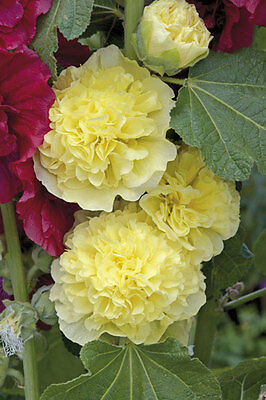 25+ Hollyhock Yellow Chaters Double,  Alcea Rosea / 6 Ft Perennial Flower Seeds