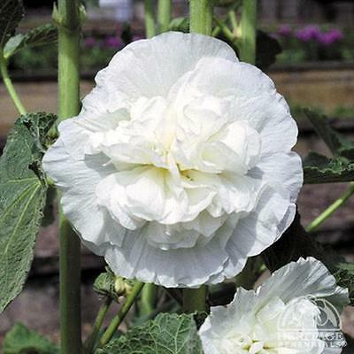 25+  Hollyhock  White Chaters Double, Alcea Rosea / Perennial  Flower Seeds