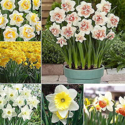 20 Double Narcissus Duo Bulbs Scented Pastel Mixed Daffodil Spring Flower New GU