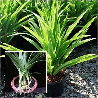 free shiping sale 50 pcs Fresh and Rare Potted Annual Seeds Pandanus amaryllifol