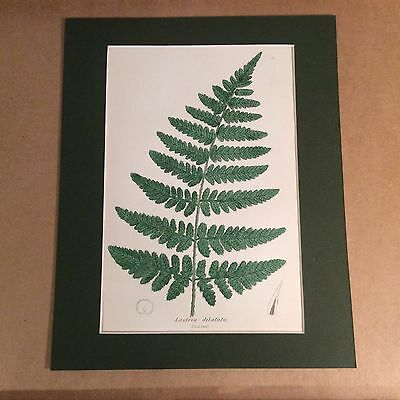 1Original Mounted 1859 Sowerby Antique Hand Coloured Fern Lithograph Print 1