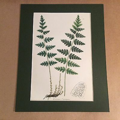 Original Mounted 1859 Sowerby Antique Hand Coloured Fern Lithograph Print 2