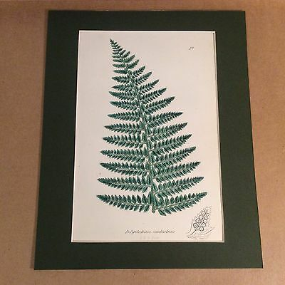 Original Mounted 1859 Sowerby Antique Hand Coloured Fern Lithograph Print 6