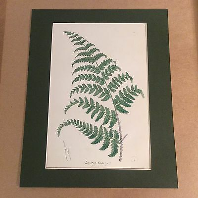 Original Mounted 1859 Sowerby Antique Hand Coloured Fern Lithograph Print 8