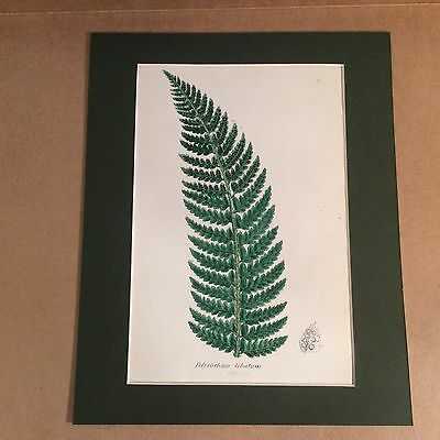 Original Mounted 1859 Sowerby Antique Hand Coloured Fern Lithograph Print 14
