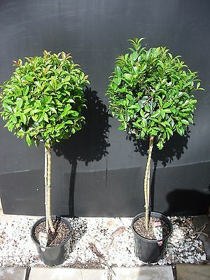 Plants Lilly Pilly - Syzigium Select Standards 200mm pots  2 pots for $58-00
