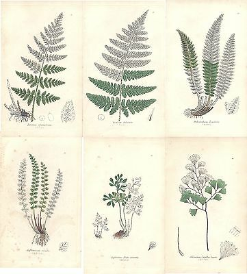 6 X  Beautiful 1855 Sowerby Antique Hand Coloured Fern Lithographs Victorian 2