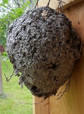 Huge Paper Wasp Hornet Nest Display Taxidermy 36 inches Round REAL Bees Nest