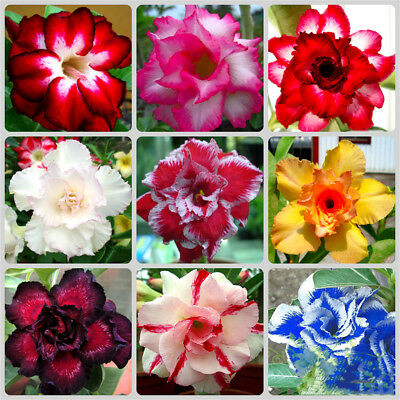 30Pcs Desert Rose Seeds Adenium Obesum Flower Bonsai Tree Plant Decor Garden New