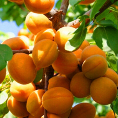 Apricot Seeds Apricot Tree Rare Fruit Seeds Bonsai Plant Home Garden 5pcs/bag