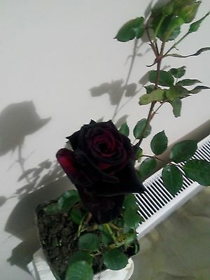 Black Magic Rose from Turkey