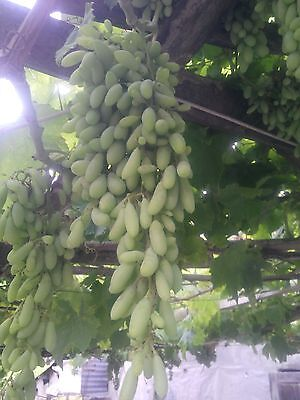 Gold Finger Grape (grafted) from Turkey