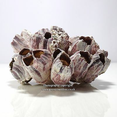 Extra large Real Barnacle Cluster seashells measuring 17.5 cm plus