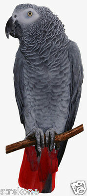 Popular Parrot Pet Bird Congo The AFRICAN GREY   - WindoCling Stick-On Decal NEW