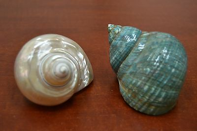 "2 Pcs Mother Of Pearl Jade Turbo Sea Shell Hermit 3 1/2"" - 4"" #7063/66"
