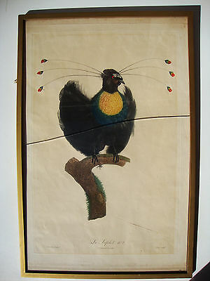 JACQUES BARRABAND LE SIFILET No. 7 BIRD OF PARADISE FRAMED PRINT EARLY 1800's