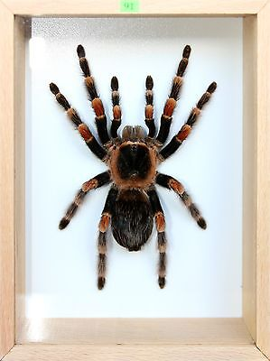 Unique Real Tarantula (Mexican Red Knee) Taxidermy - Mounted, Frame