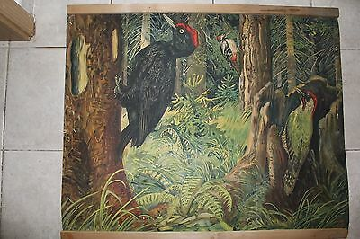 Original vintage zoological pull down school chart of Woodpecker