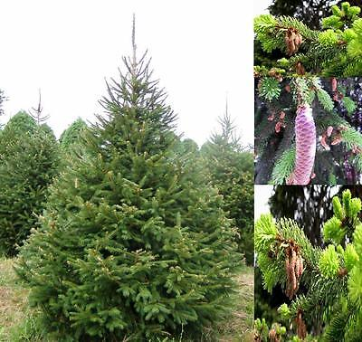 1X 3-4Ft Large Picea Abies Tree - Norway Spruce - Real Christmas Tree - 3L