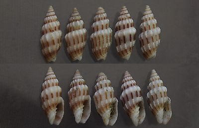 "Vexillum exasperatum, 18 - 22mm, F+/F++, per set is 5pcs., ""PRICE IS PER SET"""