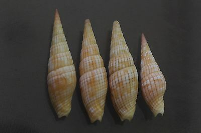 Vexillum costatum, F+/F++, set of 4 specimens