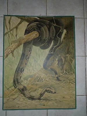 Original vintage zoological pull down school chart a Boa constrictor litograph