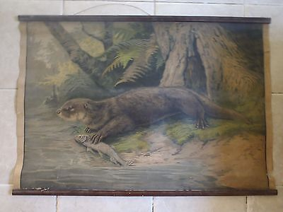 Original vintage zoological pull down school chart of Otter lithography