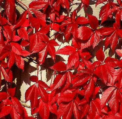 1X 3-4Ft Large Parthenocissus Quinquefolia Virginia Creeper Climbing Plant - 3L