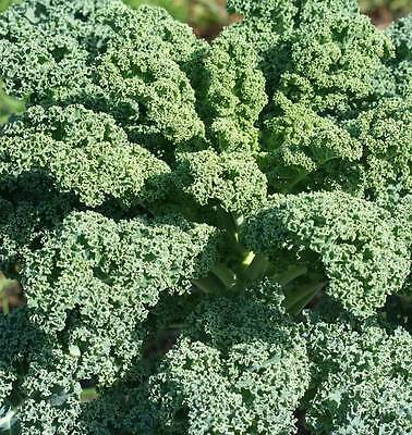 100/200 Green Kale-Borecole Seeds VATES BLUE CURLED Heirloom Vegetable Organic