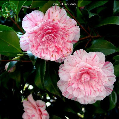 10 Seeds Mixed Color Double Camellia Impatiens (Balsam/Lady Slipper)
