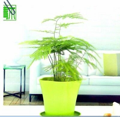 30pcs/Seeds High Quality Potted Bamboo Indoor/Outdoor
