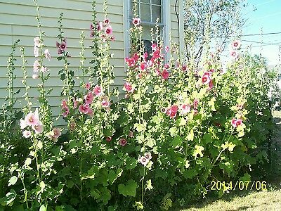 Bulk Hollyhock Seeds Mixed Colors & Varieties 1 Pound. Hearty, Bloom First Year!