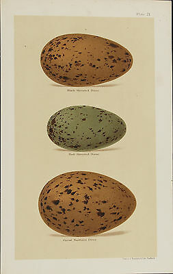 Seebohm H, Bird Egg Print 1896 Great Northern Diver, Red-throated Diver